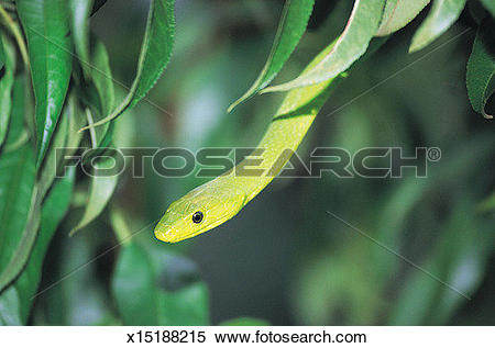 Eastern Green Mamba clipart #17, Download drawings