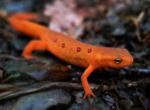 Eastern Newt  clipart #14, Download drawings