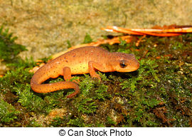 Eastern Newt  clipart #19, Download drawings
