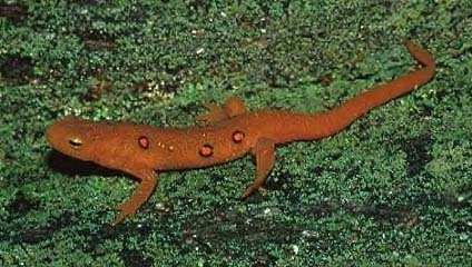 Eastern Newt  clipart #2, Download drawings
