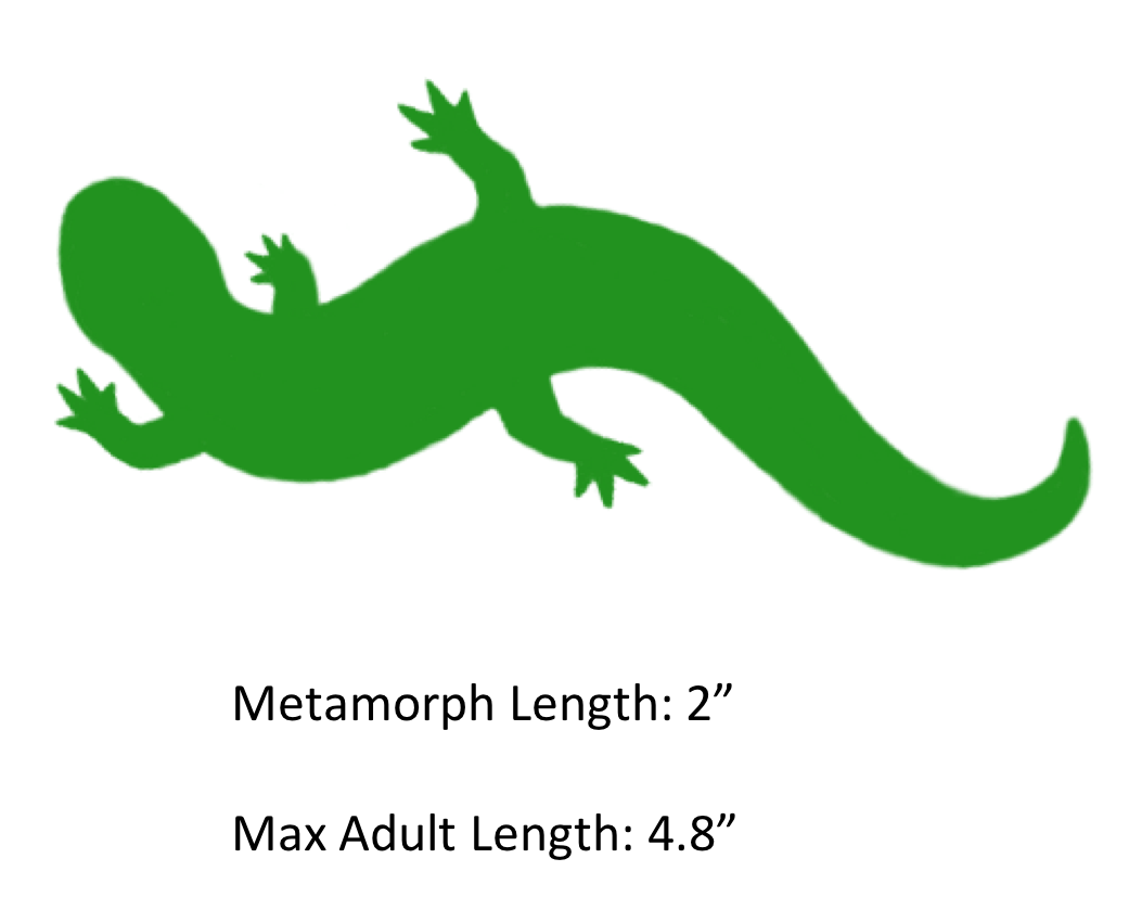 Eastern Newt  clipart #8, Download drawings