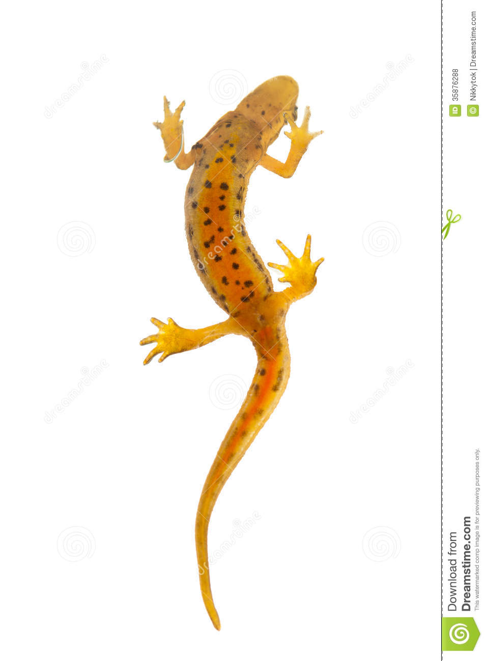 Eastern Newt  clipart #5, Download drawings