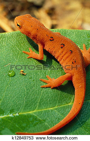 Eastern Newt  clipart #12, Download drawings