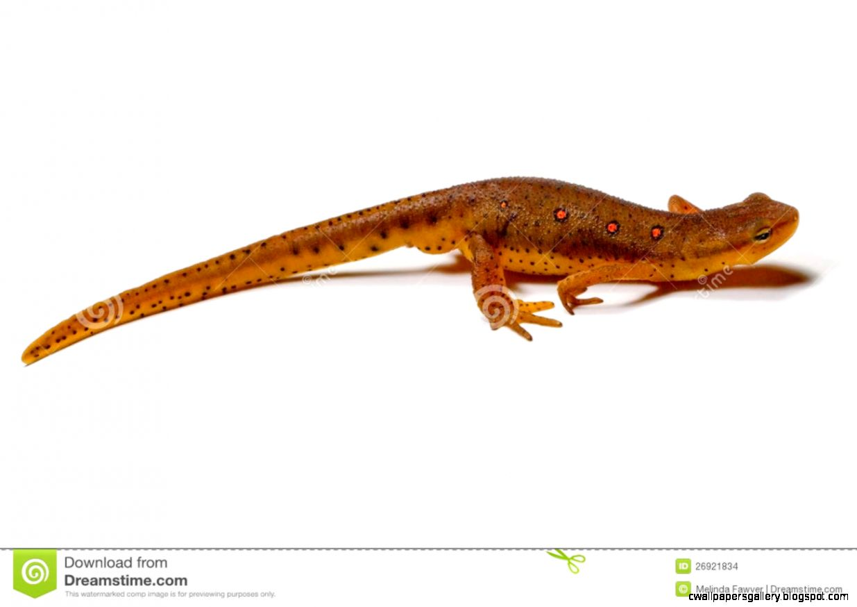 Eastern Newt  clipart #7, Download drawings
