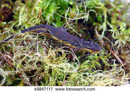 Eastern Newt  clipart #16, Download drawings