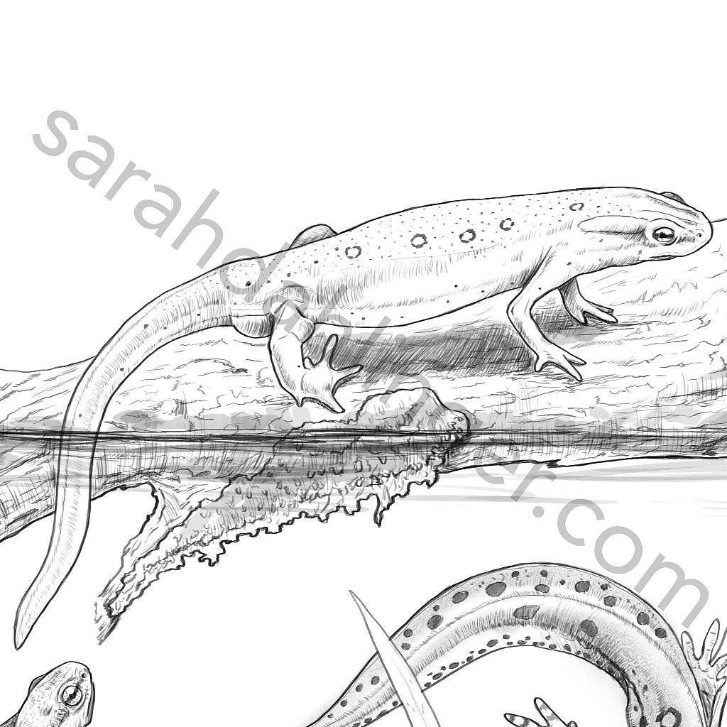 Eastern newt coloring download eastern newt coloring for Newt coloring pages