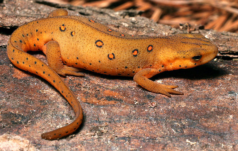 Eastern Newt  coloring #8, Download drawings