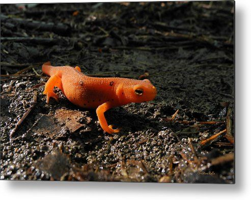 Eastern Newt  coloring #10, Download drawings