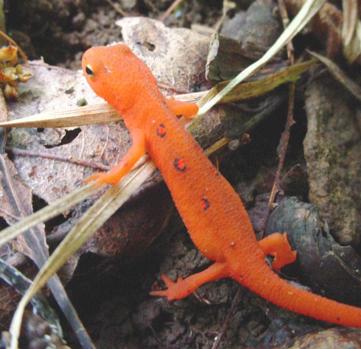 Eastern Newt  coloring #3, Download drawings