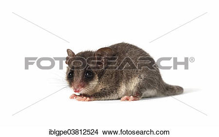 Eastern Pygmy Possum clipart #20, Download drawings