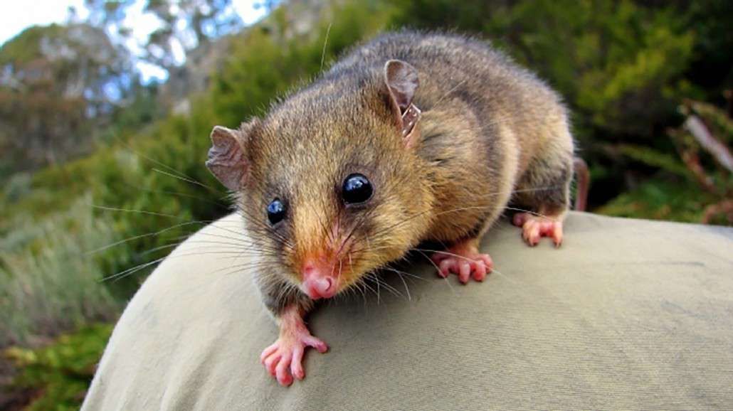 Mountain Pygmy Possum clipart #12, Download drawings