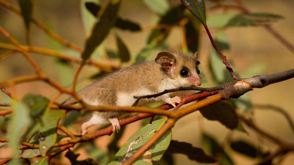 Mountain Pygmy Possum clipart #13, Download drawings
