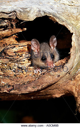 Eastern Pygmy Possum clipart #11, Download drawings