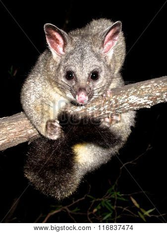 Eastern Pygmy Possum clipart #9, Download drawings