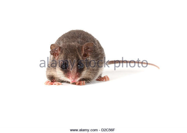 Eastern Pygmy Possum clipart #18, Download drawings