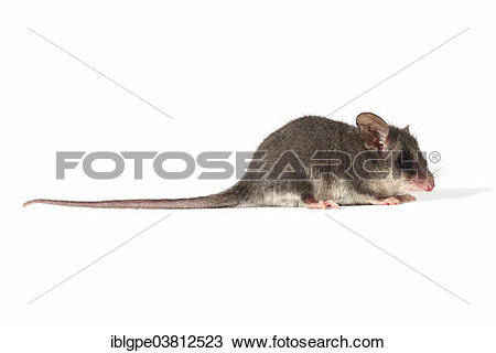 Eastern Pygmy Possum clipart #19, Download drawings