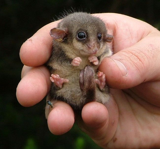 Eastern Pygmy Possum clipart #10, Download drawings