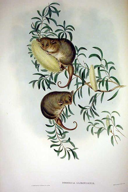 Eastern Pygmy Possum coloring #10, Download drawings