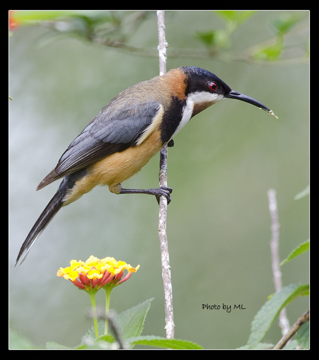 Eastern Spinebill clipart #20, Download drawings