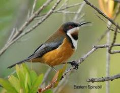 Eastern Spinebill clipart #13, Download drawings