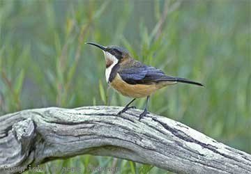Eastern Spinebill clipart #7, Download drawings