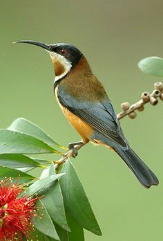 Eastern Spinebill clipart #17, Download drawings