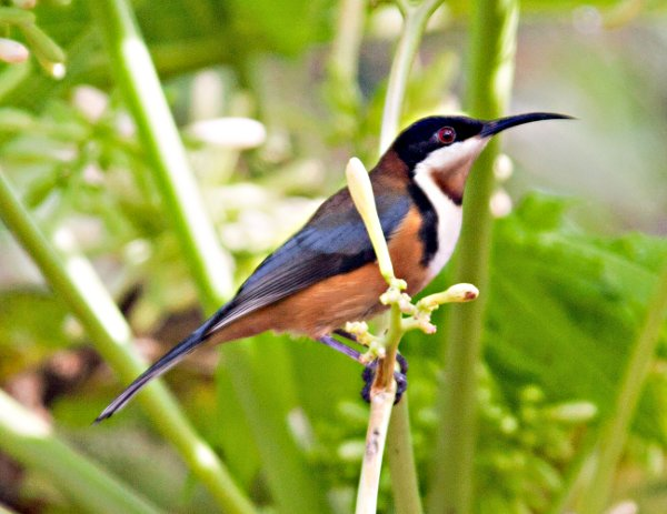 Eastern Spinebill clipart #9, Download drawings