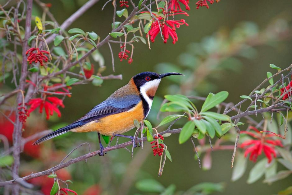 Eastern Spinebill clipart #8, Download drawings