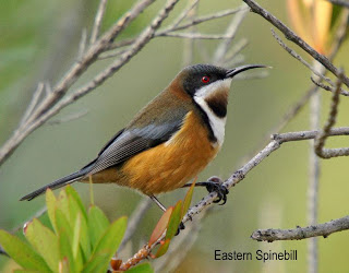 Eastern Spinebill coloring #20, Download drawings