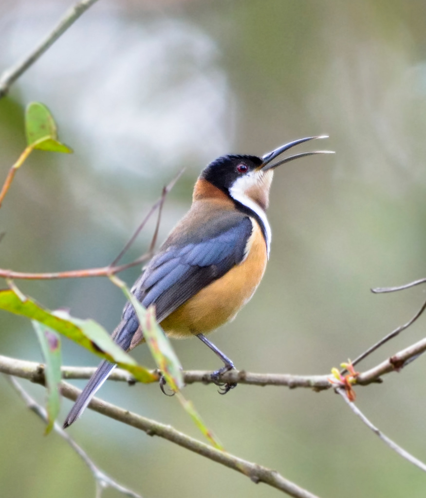 Eastern Spinebill svg #7, Download drawings