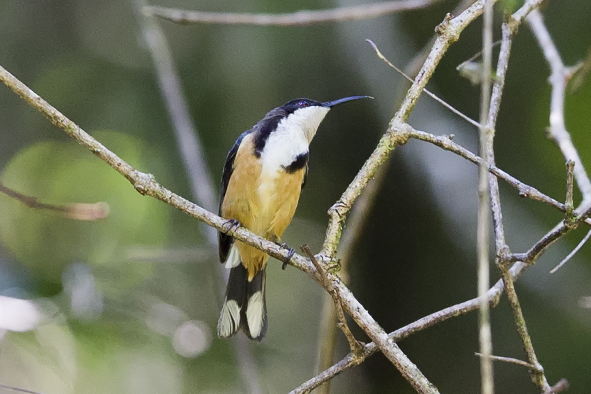 Eastern Spinebill svg #9, Download drawings