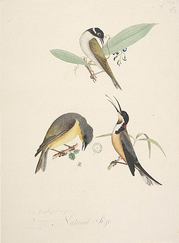 Eastern Spinebill svg #14, Download drawings