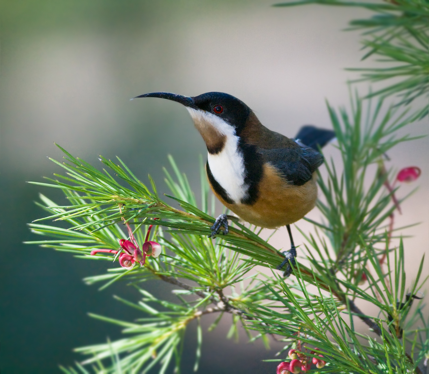 Eastern Spinebill svg #10, Download drawings
