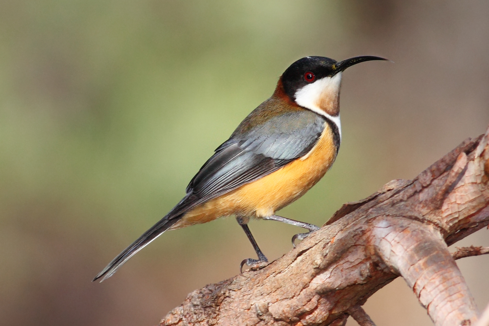 Eastern Spinebill svg #6, Download drawings