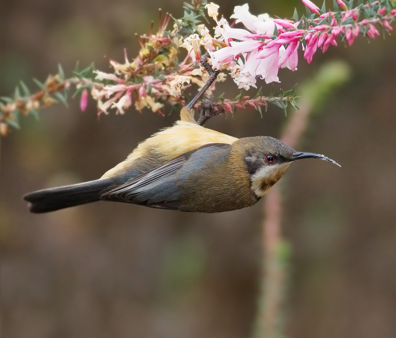 Eastern Spinebill svg #20, Download drawings