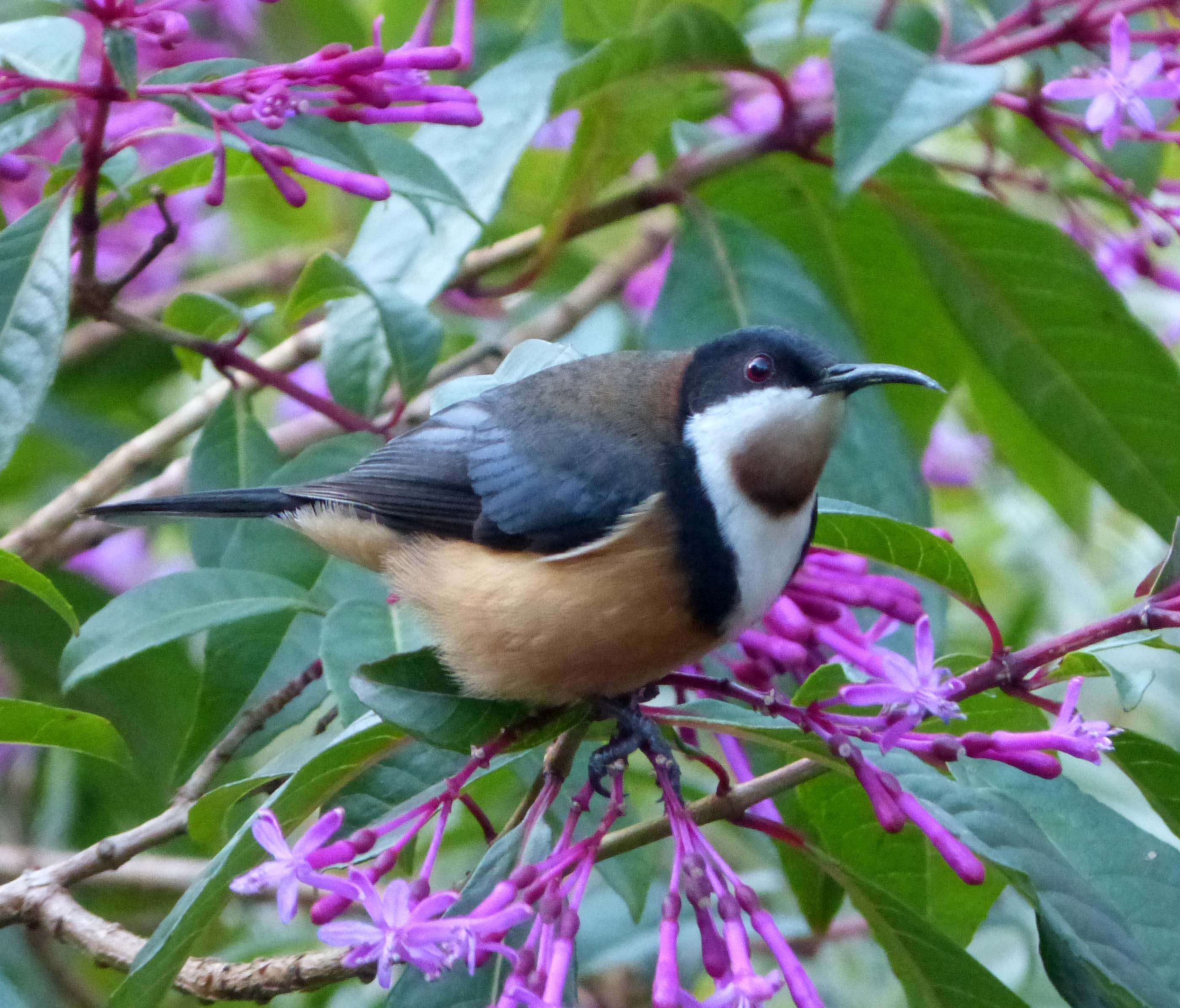 Eastern Spinebill svg #15, Download drawings