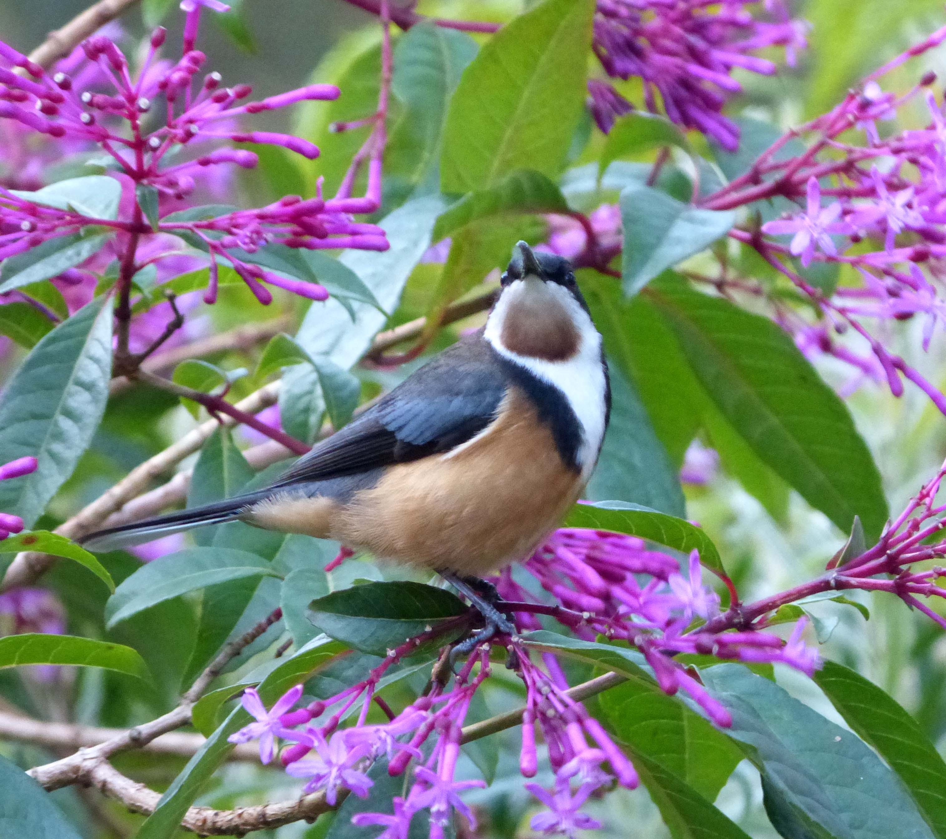 Eastern Spinebill svg #12, Download drawings