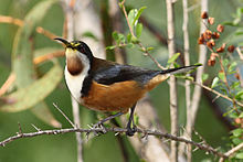 Eastern Spinebill svg #19, Download drawings