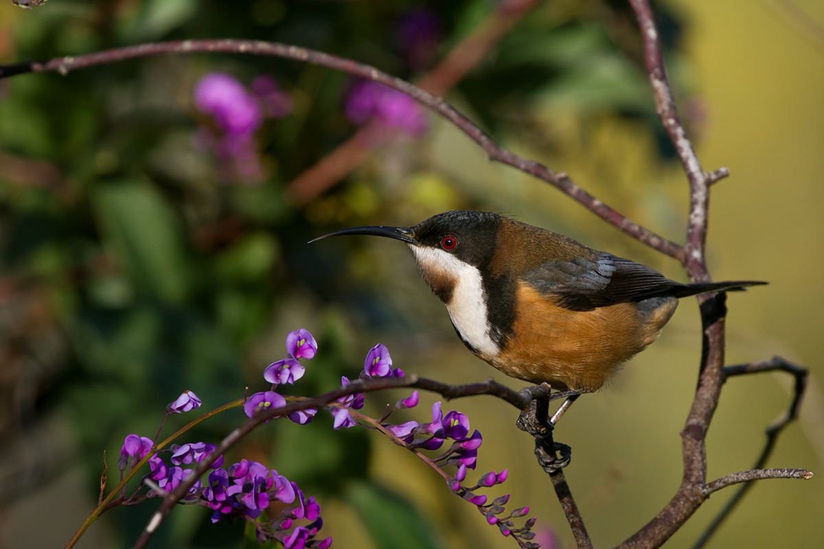 Eastern Spinebill svg #16, Download drawings