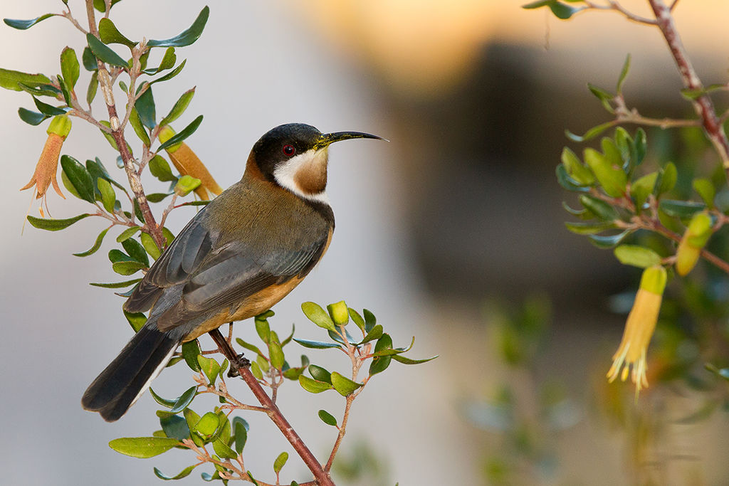 Eastern Spinebill svg #8, Download drawings