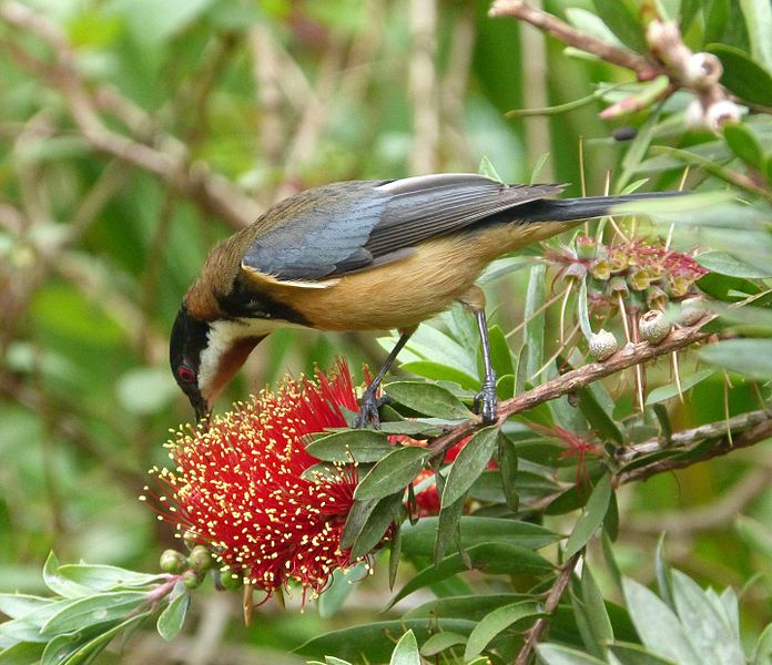 Eastern Spinebill svg #17, Download drawings