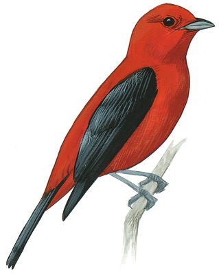 Scarlet Tanager coloring #13, Download drawings