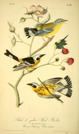 Eastern Tanager clipart #5, Download drawings