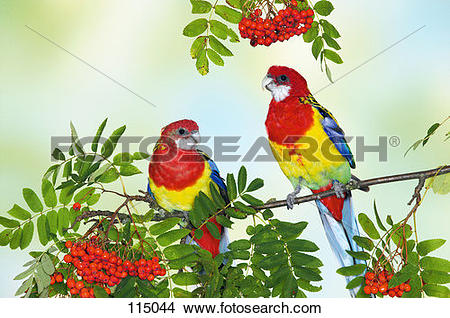 Eastern Tanager clipart #9, Download drawings