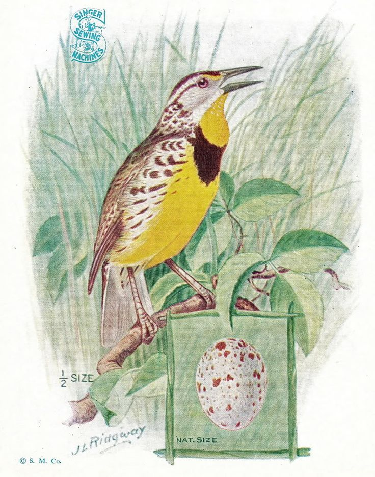 Eastern Tanager svg #5, Download drawings