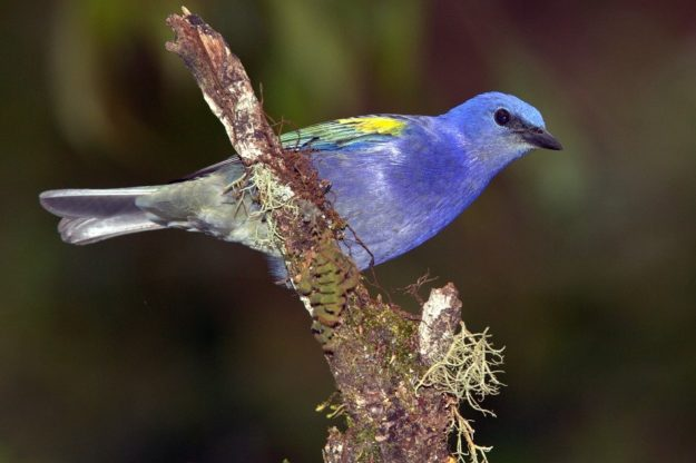Eastern Tanager svg #7, Download drawings