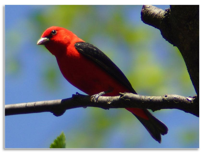 Eastern Tanager svg #16, Download drawings