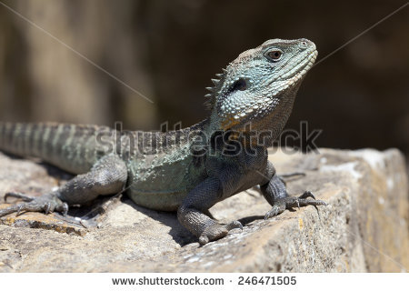 Eastern Water Dragon clipart #14, Download drawings
