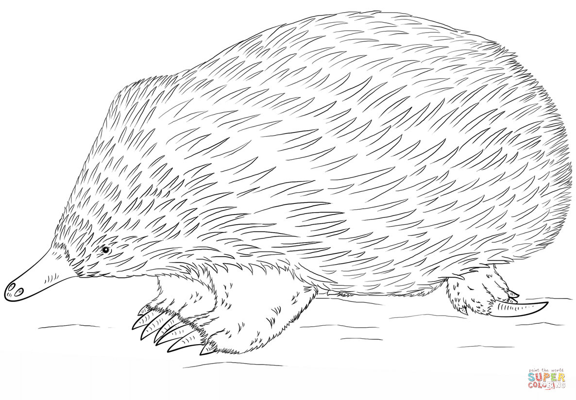 Echidna coloring #5, Download drawings