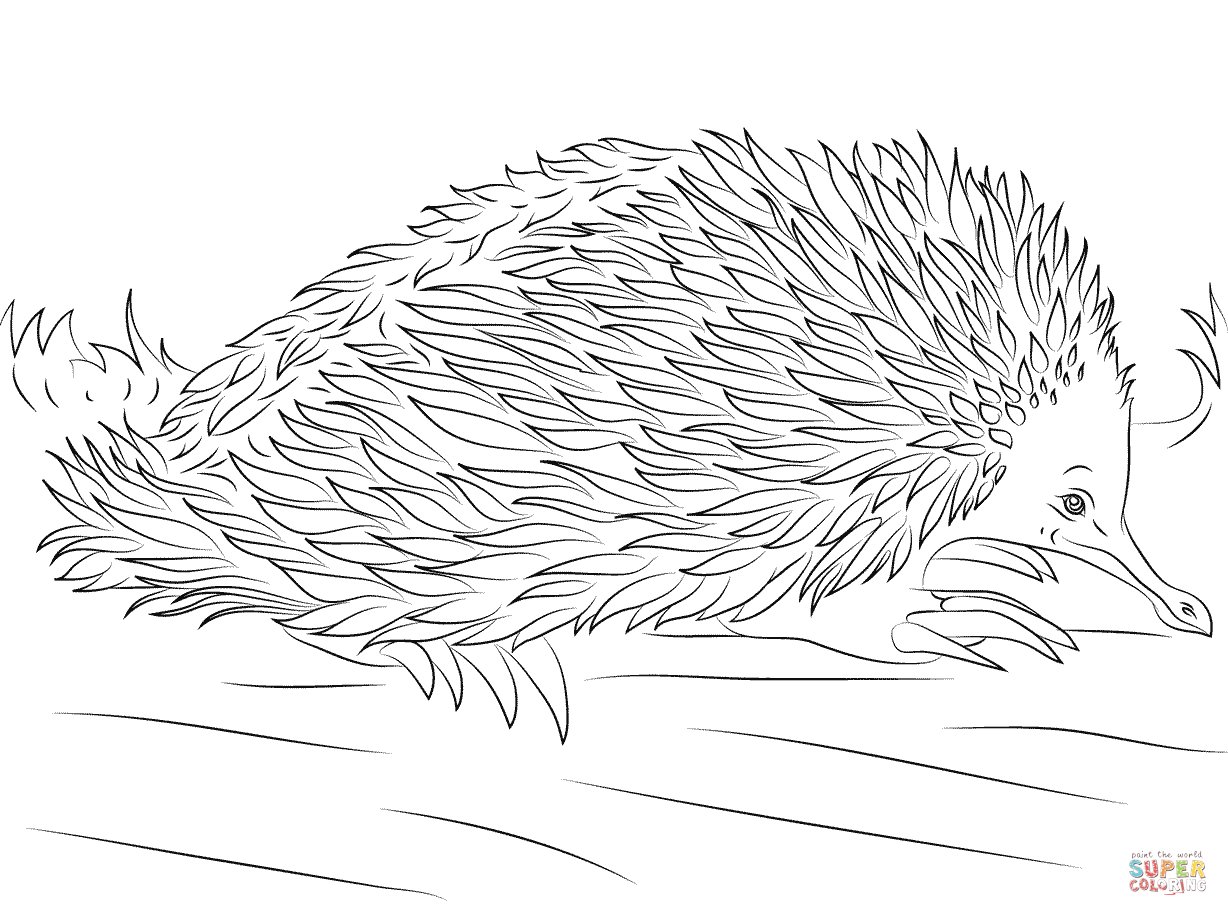 Echidna coloring #6, Download drawings